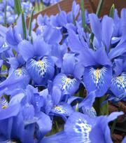 Iris Specie Lady Beatrix Stanley
