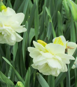 Narcissus Obdam