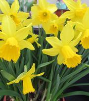 Narcissus Tamara