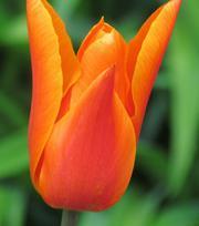 Tulip Ballerina 11/12 cm