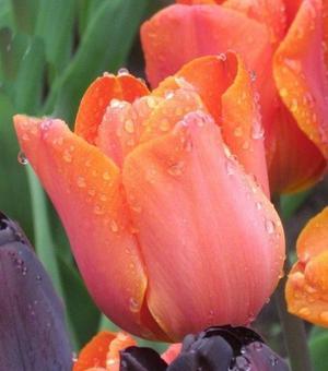 Tulip Jimmy