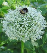 Allium White Giant (Stipitatum)