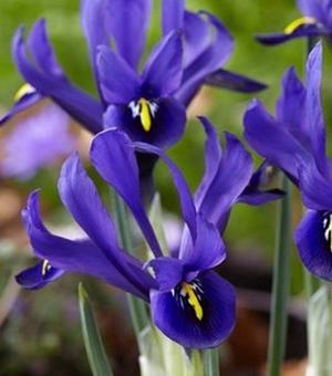 Iris Specie Palm Springs