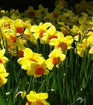 Narcissus Juanita