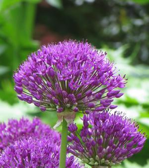 Allium Purple Sensation (Hollandicum)