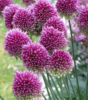 Allium Sphaerocephalon (Drumsticks)