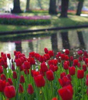 Tulip Ile de France