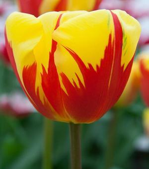 Tulip Holland Queen