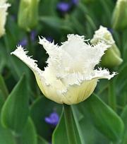 Tulip Swan Wings