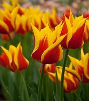 Tulip Synaeda King