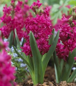 Hyacinth Double Red Diamond ®
