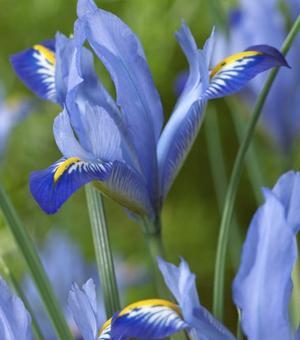Iris Reticulata Carolina