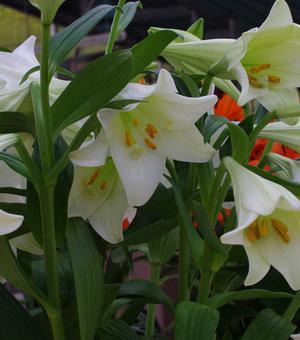 Lilium White American