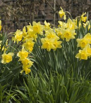 Narcissus Rijnvelds Early Sensation