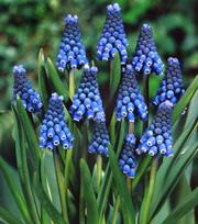 Muscari Aucheri Blue Magic ®