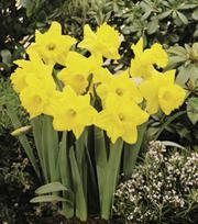 Narcissus Brabazon