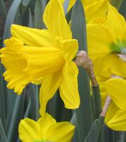 Narcissus Saint Victor