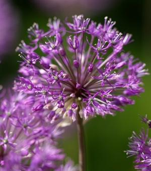 Allium Purple King (Jesdianum)