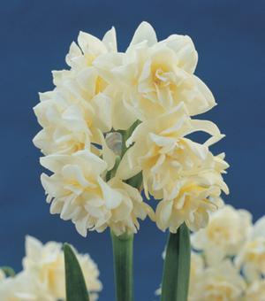 Indoor Flowering Narcissus Erlicheer