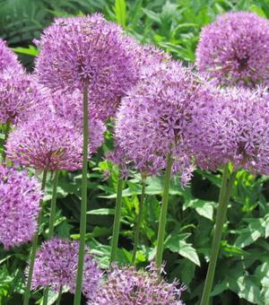 Allium Aflatunense (Hollandicum)