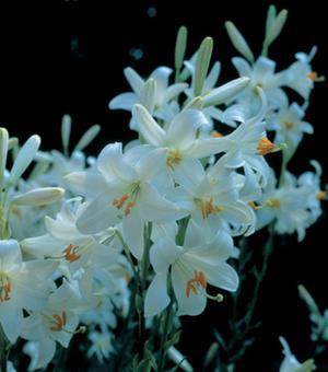 Lilium Candidum (Madonna Lily)