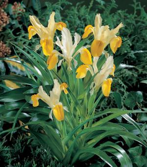 Iris Specie Bucharica