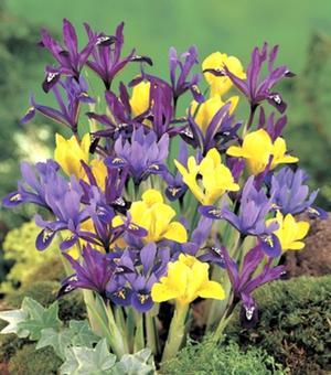 Iris Reticulata Species Mixture