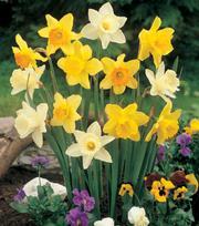 Trumpet Daffodil Mix 25kg