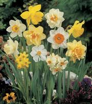 Large Flowering Narcissus Mixture 25kg