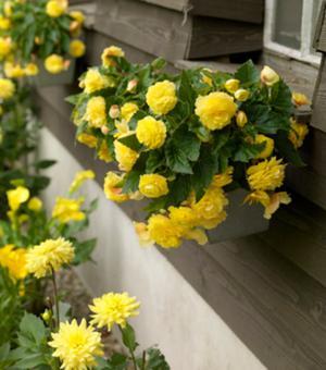 Begonia Cascade Yellow