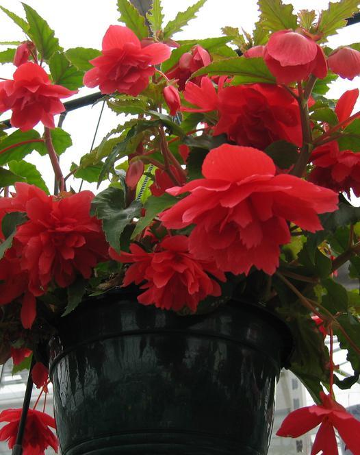 Begonia Cascade Red
