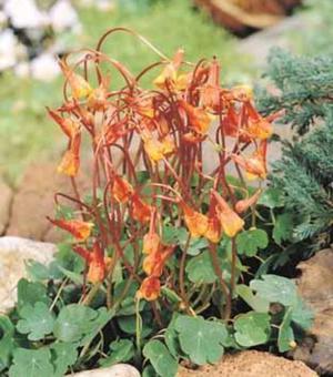 Tropaeolum Ken Aslet (Tuberosum)