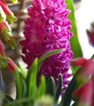 Prepared Hyacinth Jan Bos