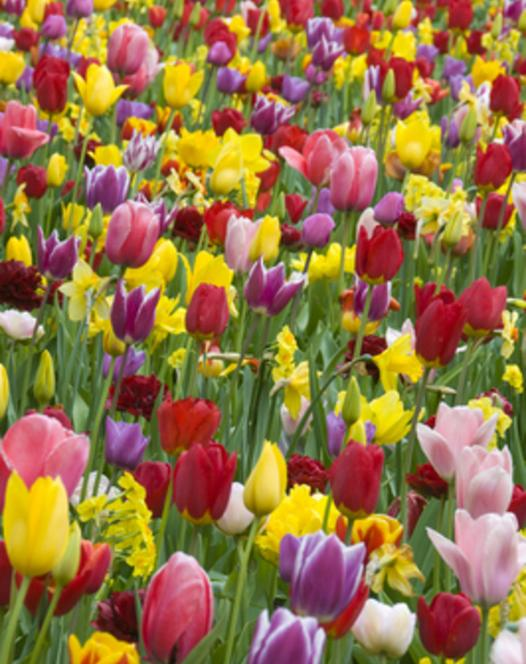 Tulip Triumph Mixture