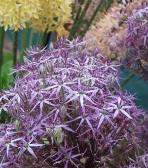 Allium Metallic Shine