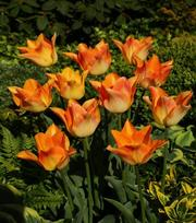 Tulp Moonblush