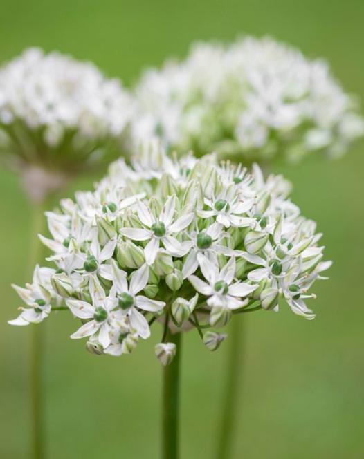 Allium Nigrum (Multibulbosum)