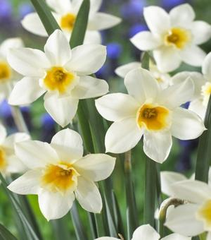 Narcissus Sweet Love