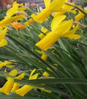 Narcissus Rapture