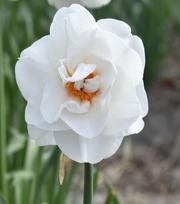 Narcis Acropolis