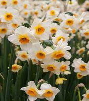 Narcis Beautiful Eyes