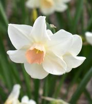 Narcis Narcis Bellsong