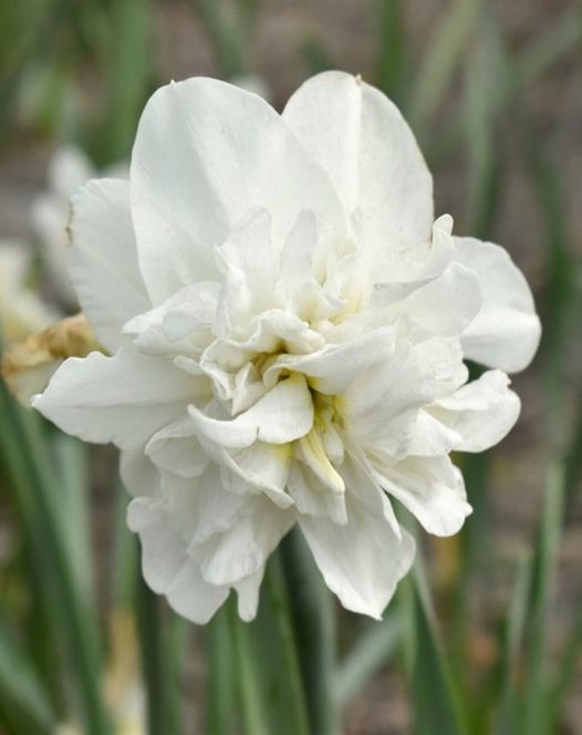 Narcis Obdam