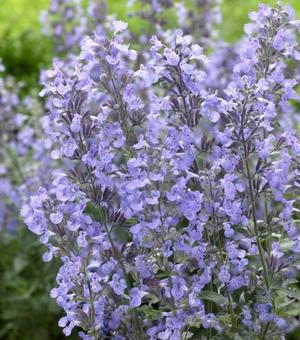 Nepeta Junior Walker
