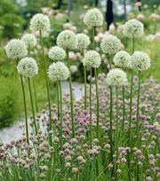 Allium Mont Blanc