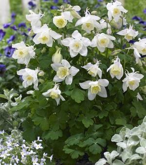 Aquilegia Spring Magic White - P9 (Akelei)