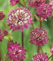 Astrantia Burgundy Manor