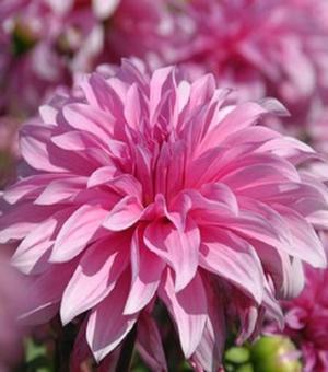 Pictured Dahlia Babylon Rose