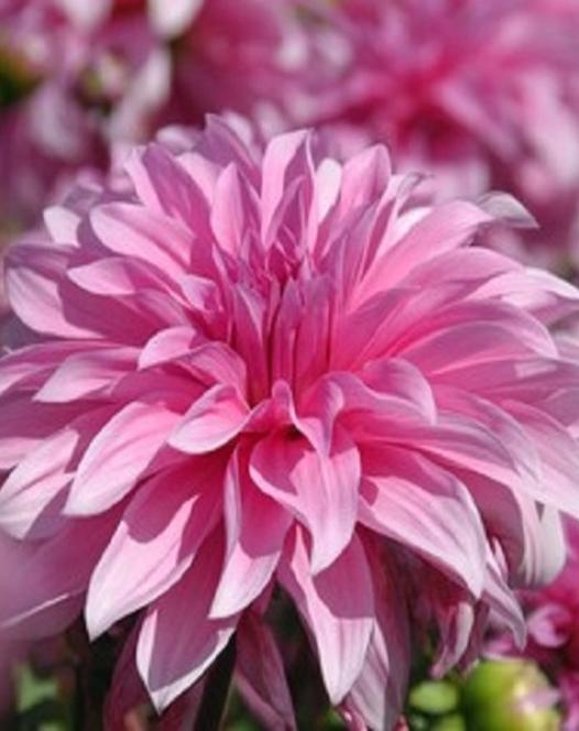 "Pictured <a href=""/babylon-rose.html"">Dahlia Babylon Rose</a>"