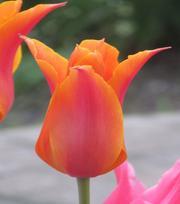 """""""Tulpen Uit Amsterdam"""" Collectie"""